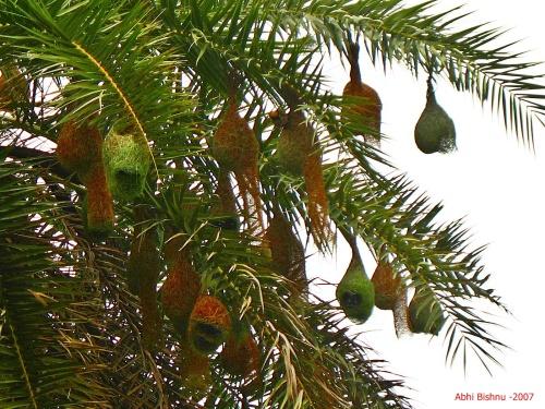 Weaver Birds' nest_Bharatpur