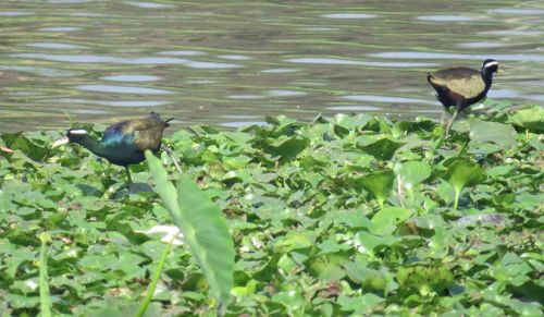 10_Bronze winged Jacana