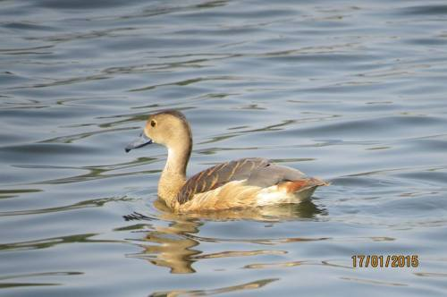 5_Fulvous Whistling Duck