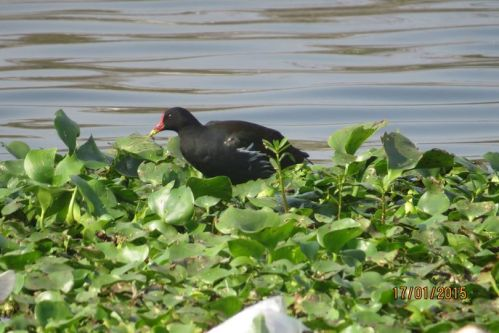 8_Common Moorhen