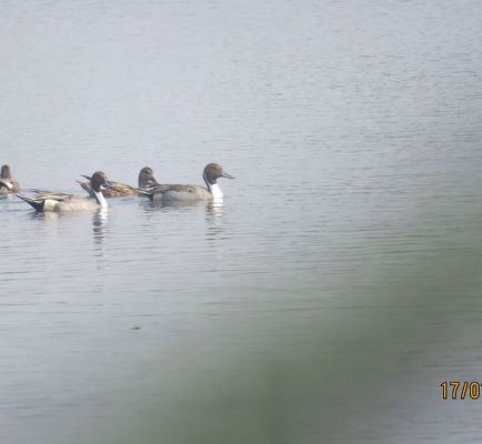 9_Northern Pintail duck