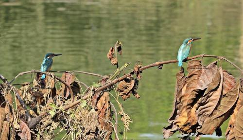 Kingfisher (2)