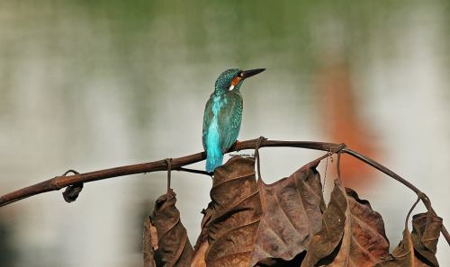 Kingfisher (6)