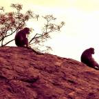 Tiruvannamalai chronicles- Monkeys in meditation
